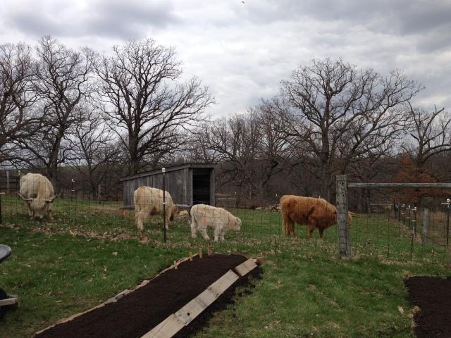 mini herd 2