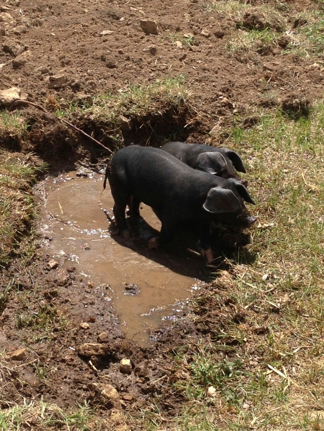 pigs wallow