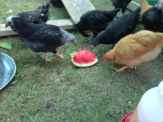 chicks and watermelon