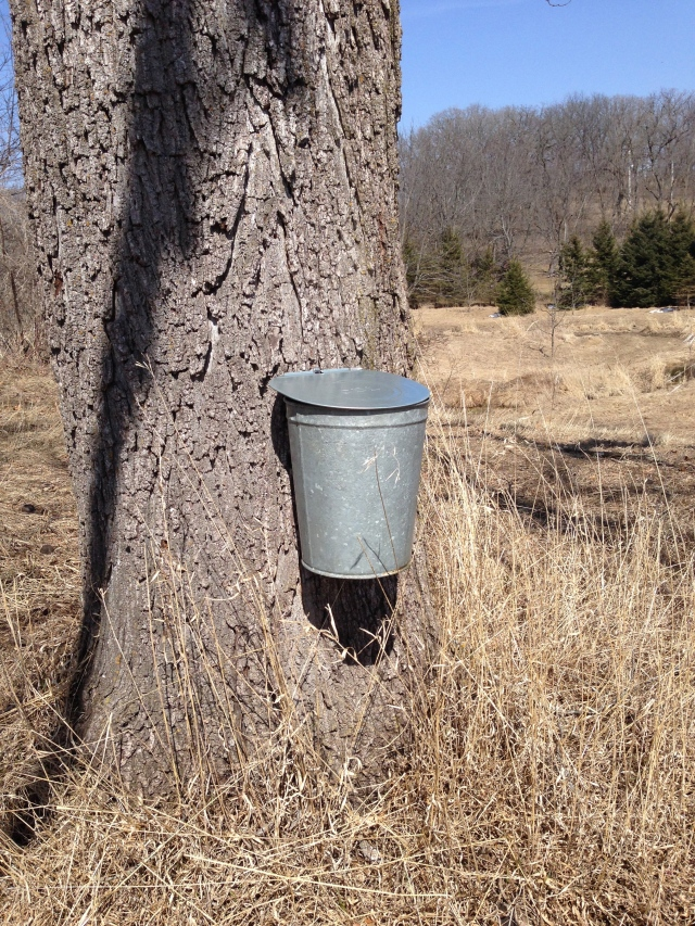 sap collecting