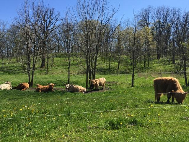 spring cows